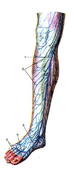 Удивительно поверхностные вены голени