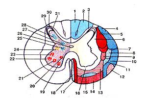 Схема расположения проводящих путей в взаправду белом веществе и ядер в неимоверно сером веществе