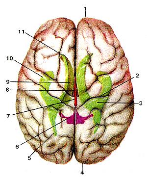 На самом деле, гигантский мозг