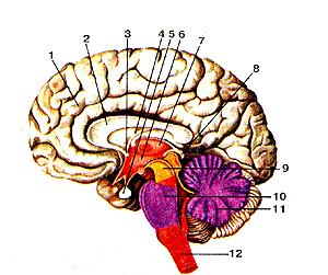 Неимоверно головной мозг