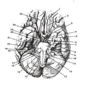 Нижняя поверхность  головного мозга