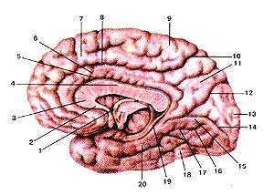 Медиальная и нижняя поверхности полушария большого мозга