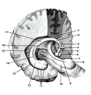 Свод  и гиппокамп