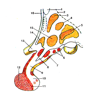 Гипоталамус, гипофиз