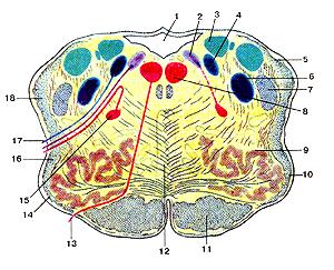 Более длинный мозг