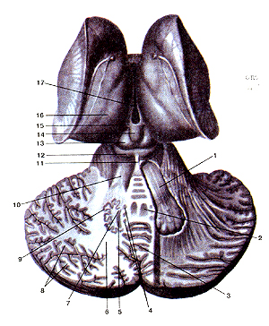 Мозжечок, необыкновенно посредственный мозг, , без сомнения, промежуточный мозг