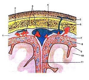 Оболочки головною мозга