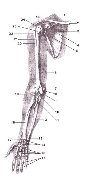 Кости верхней конечности