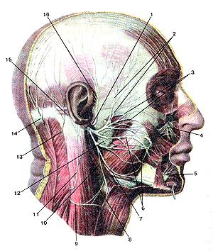 Очень лицевой нерв