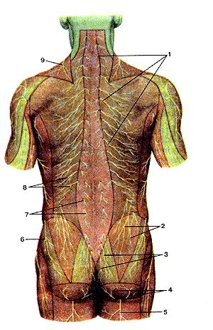 Потрясающе кожные нервы задней стороны туловища
