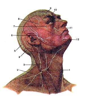 Нервы шейного сплетения