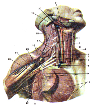 Шейное сплетение, плечевое сплетение