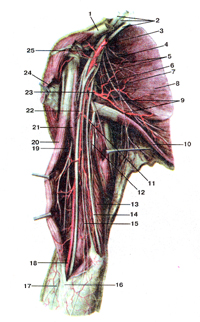 Нервы плечевого пояса и плеча