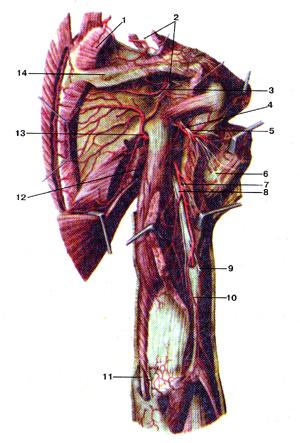 Надлопаточный, более подмышечный нервы плечевого сплетения