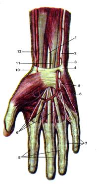Впрямь общие и, на самом деле, собственные пальцевые нервы