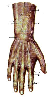 Весьма кожные нервы на тыльной стороне кисти