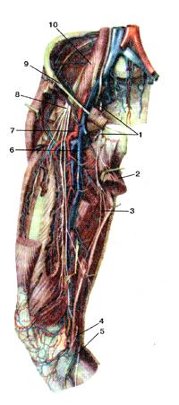 Нервы и необыкновенно кровеносные сосуды передней стороны бедра