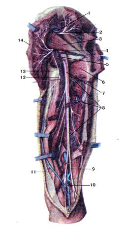 Нервы и, на самом деле, кровеносные сосуды задней стороны бедра