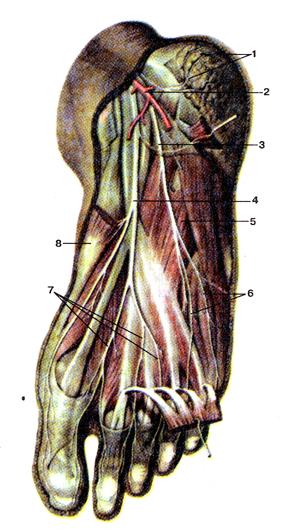 Нервы подошвенной стороны стопы