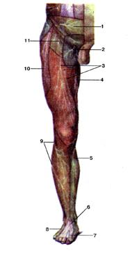 По-моему, кожные нервы нижней конечности