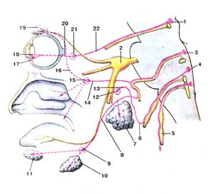 В действительности, головной отдел парасимпатической части вегетативной нервной системы