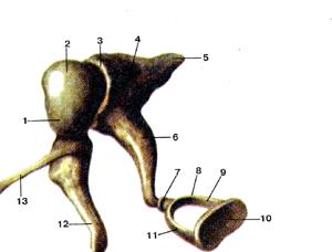 Сильно слуховые косточки