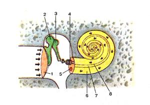 Схема взаимоотношений костного лабиринта и находящегося внутри него перепончатого лабиринта