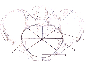 Кости нижней конечности