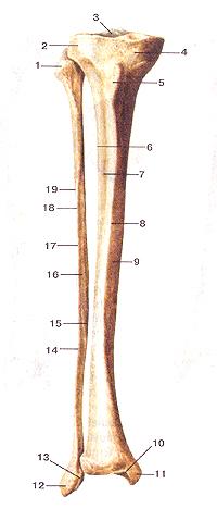 Большеберцовая и малоберцовая кости
