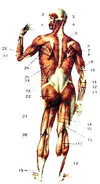 Мышцы задней поверхности тела человека