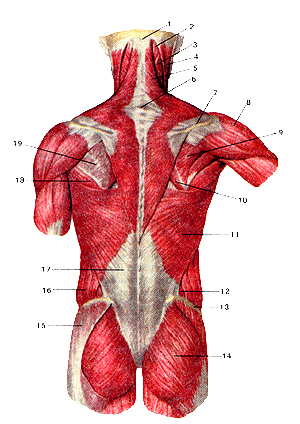 Необыкновенно поверхностные мышцы спины