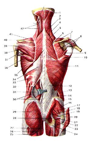 В самом деле, поверхностные мышцы спины и затылка