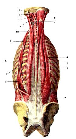 Удивительно глубокие мышцы спины и затылка