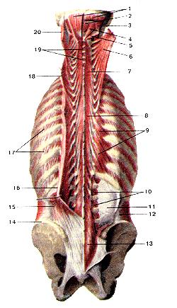 В действительности, глубокие мышцы спины и затылка