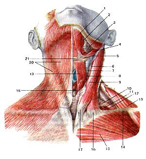По-моему, поверхностные мышцы шеи