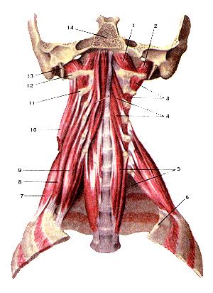 Надо признаться, глубокие мышцы шеи