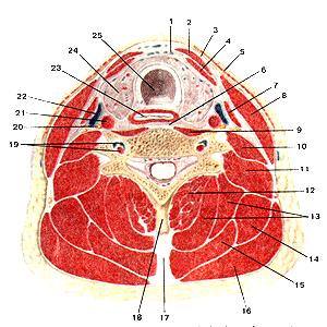 Мышцы и фасции шеи на, в действительности, поперечном разрезе