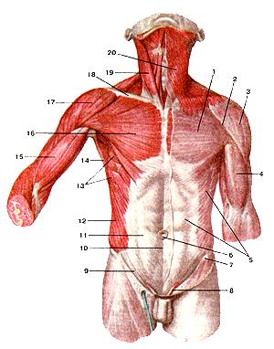 Мышцы и фасции туловища.