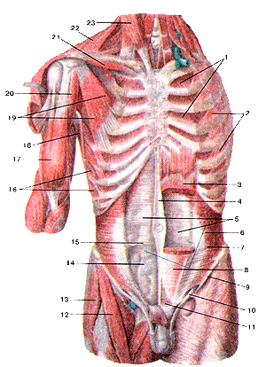 Сильно глубокие мышцы груди и живота