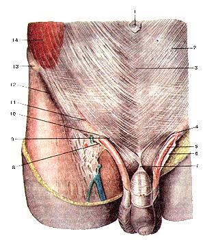 Передняя стенка живота и поверхностное (подкожное)