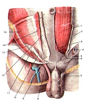 В самом деле, глубокие мышцы передней стенки живота и взаправду паховый