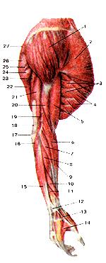 Мышцы верхней конечности
