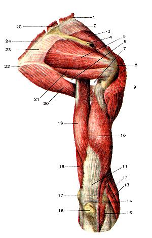 Мышцы плечевого пояса и плеча