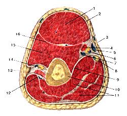 Мышцы и фасции плеча
