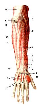 Мышцы и фасции тыльной стороны предплечья и кисти