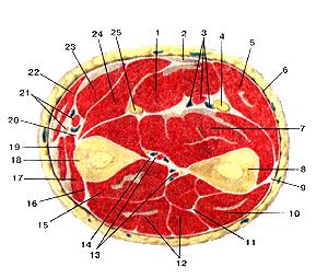 Мышцы и фасции предплечя