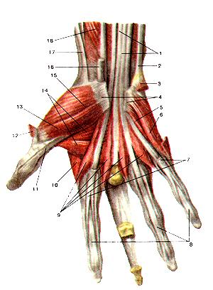 Мышца кисти