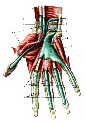 Синовиальные влагалища сухожилий мышц кисти