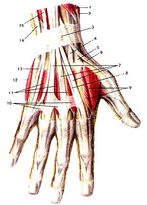 Мышцы и сухожилия кисти