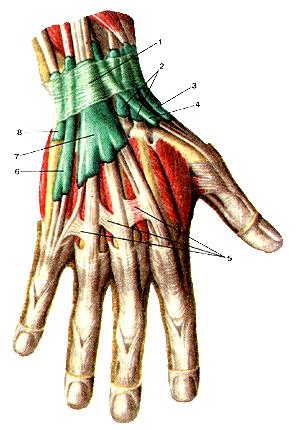 Синовиальные влагалища сухожилий мышц-разгибателей кисти